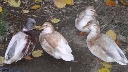 Call Duck Breeding http://prickereepines.homestead.com/thecallduckpage.html